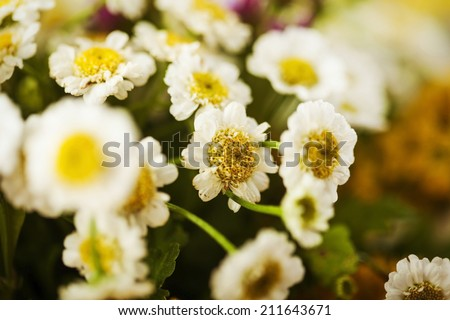 Camomile macro photography on blurred background - stock photo