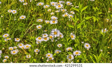Camomile meadow background or texture - stock photo