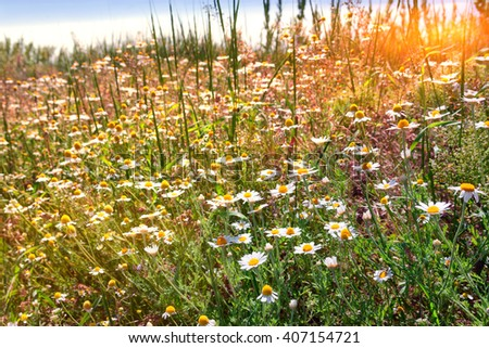 camomile meadow in clear sunny day in early summer - stock photo