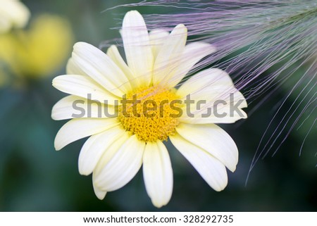 Camomile outside on blue background - stock photo
