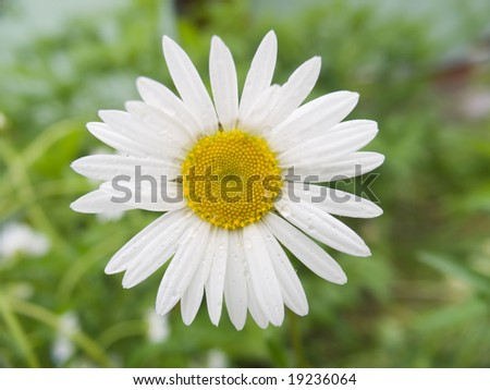 Camomile with drops of water on a vegetative background