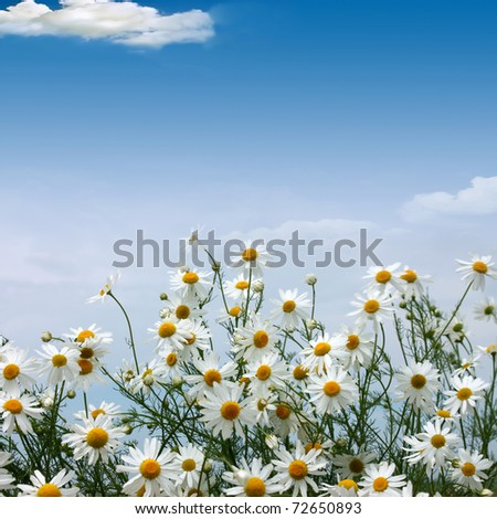 Camomiles field against the blue sky - stock photo
