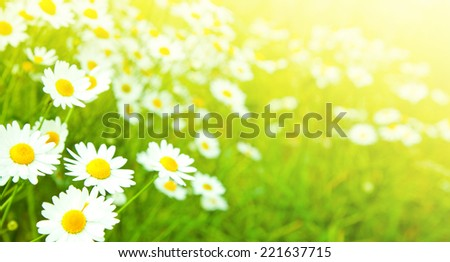Camomiles flowers field, selective focus - stock photo