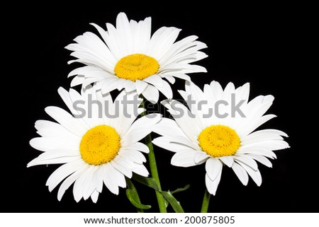 Camomiles on black background. Daisies, beautiful white flowers. Lovely image, elegant greeting cards, wallpaper, textures - stock photo