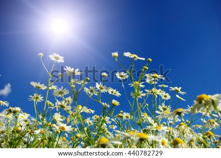 Camomiles on blue sky background - stock photo
