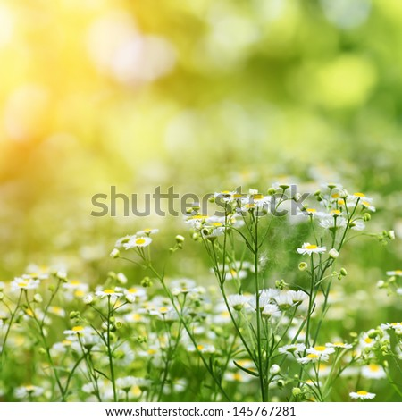 camomiles on summer field closeup blurred green bokeh as background - stock photo