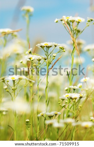 Camomiles on the meadow - stock photo