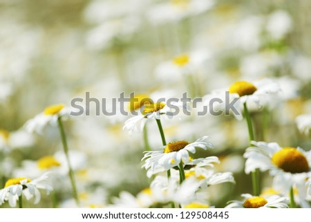 camomiles summer field - stock photo