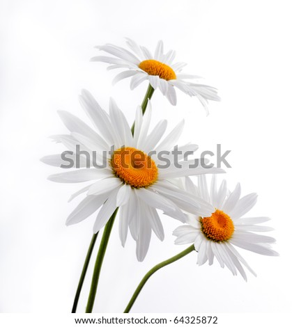Camomiles with green leaves - stock photo