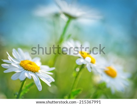 camomille field - stock photo