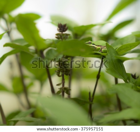 Camouflage ability of Australian green tree frog, color matching on green basil leaves in garden - stock photo
