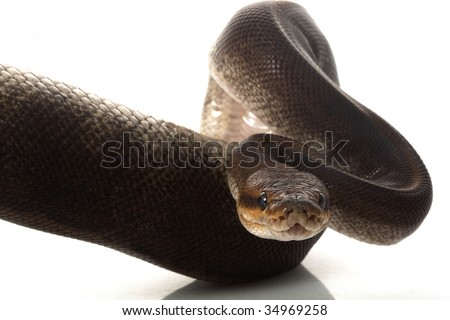 camouflage ball python (Python regius) isolated on white background. - stock photo
