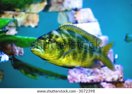 camouflage colorated predator fish in the aquarium