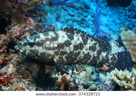 Camouflage grouper fish (Epinephelus polyphekadion) in the tropical coral reef  - stock photo