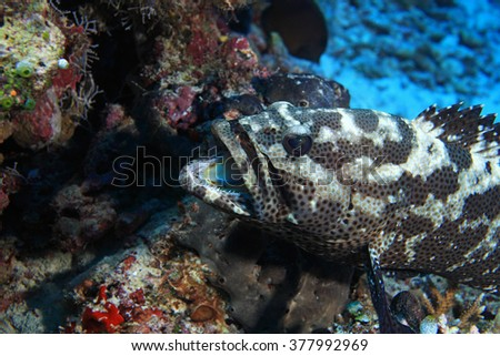 Camouflage grouper fish (Epinephelus polyphekadion) with open jaw - stock photo