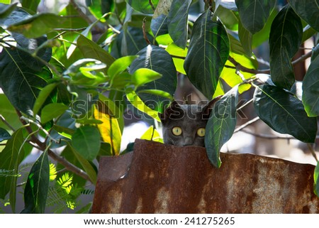 "Camouflage Korat cat  ""the amber eyes cat"" stare at camera - stock photo"