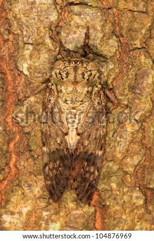 Camouflage of Cicadidan - stock photo