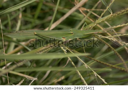 Camouflage - Slantface grasshopper in green grass - stock photo
