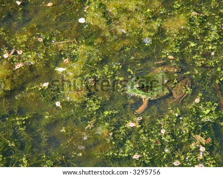 Camouflaged Frog in a Pond - stock photo