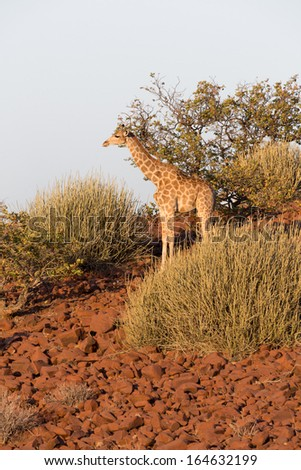 Camouflaged giraffe standing over stone background in Namib - stock photo