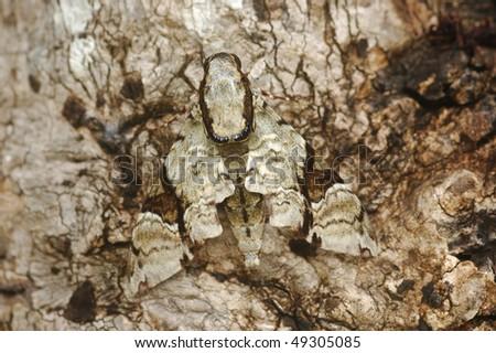 Camouflaged Hawk Moth in Khao Yai National Park, Thailand - stock photo