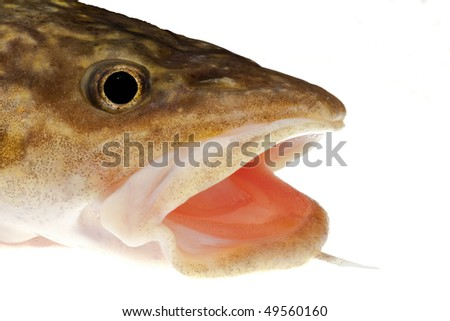Camouflaged head of freshwater fish burbot (Lota lota) isolated on white - stock photo