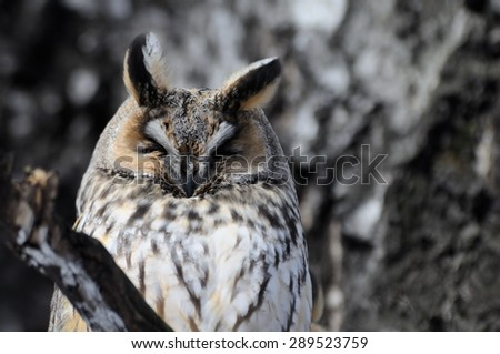 Camouflaged Long-eared Owl portrait - stock photo