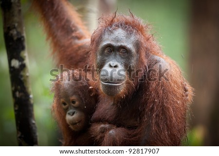 Camp Leakey Rehabilitation Center, Kalimantan - stock photo