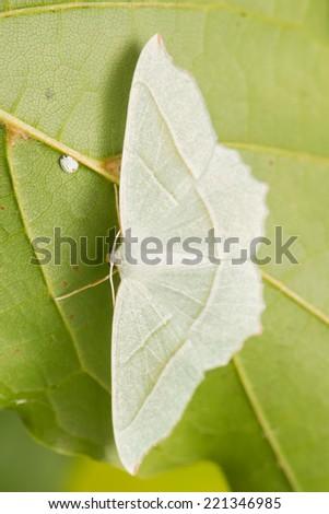 Campaea margaritaria - stock photo