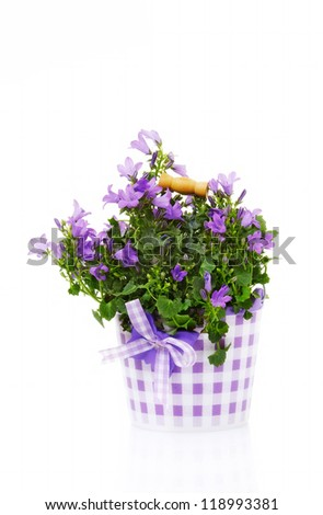 Campanula bell flowers, isolated on white - stock photo