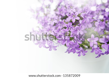 Campanula bell flowers on the white background	 - stock photo