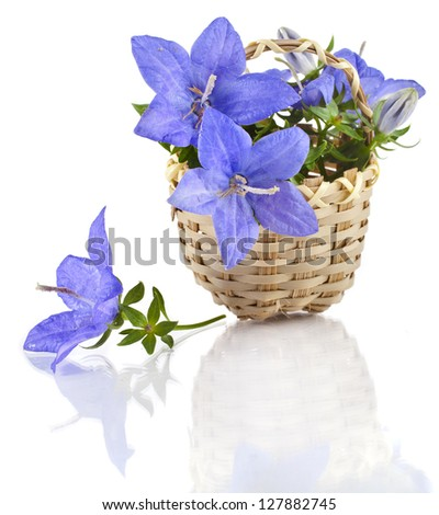 Campanula blue flower in wooden basket isolated on white background - stock photo