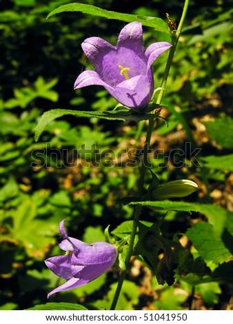 campanula, campanulacee. shallow dof. - stock photo