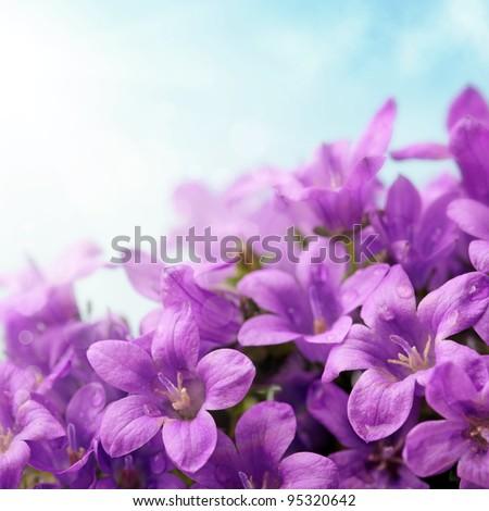 Campanula flowers and blue sky - stock photo