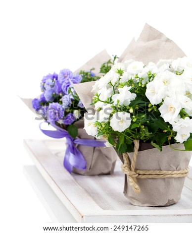 Campanula terry with blue and white flowers in paper packaging, isolated on white background - stock photo