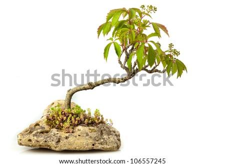 Campsis radicans bonsai isolated on white - stock photo