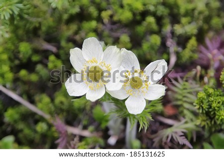 Canada Anemone - anemone canadensis in canadian rockies, Canada - stock photo