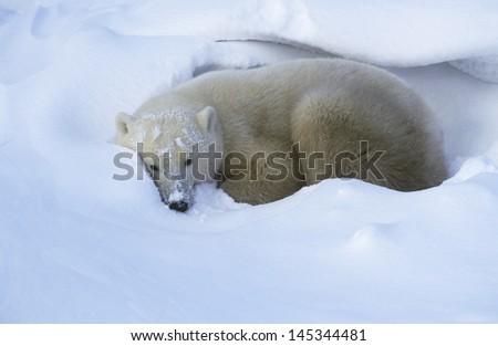 Canada Churchill Polar Bear lying in snow - stock photo
