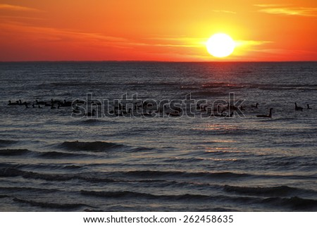 Canada Geese (Branta canadensis) Flocking Together in Autumn on Lake Huron at Sunset - Ontario, Canada - stock photo