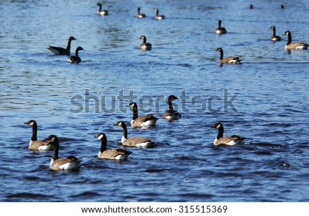 Canada geese, Branta canadensis, on a lake during fall south migration