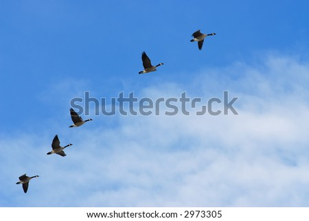 Canada Geese climbing into the sky - stock photo