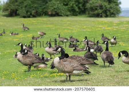 Canada geese feeding and resting - stock photo