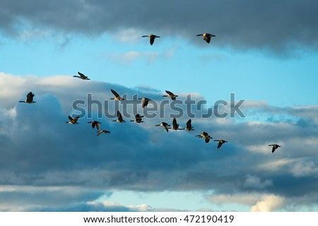 Canada geese flying
