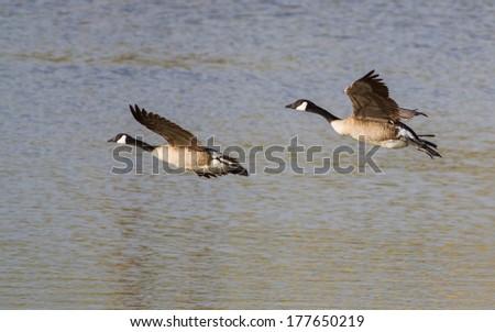 Canada Geese Flying Across Water - stock photo