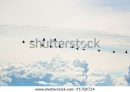 Canada geese flying in formation with clouds in the background - stock photo