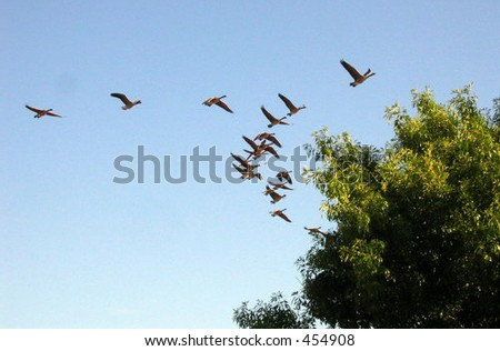 Canada geese flying over willow