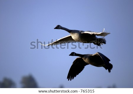 Canada Geese flying together - stock photo