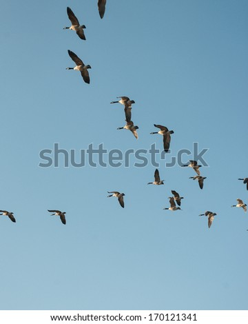 Canada Geese Formation, Migration, Birds - stock photo