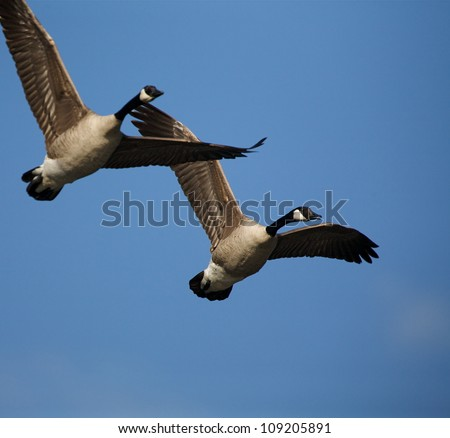 Canada Geese in flight, against a blue sky background - stock photo