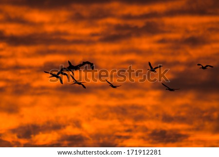 Canada geese in flight are silhouetted against a brilliant sunset in winter
